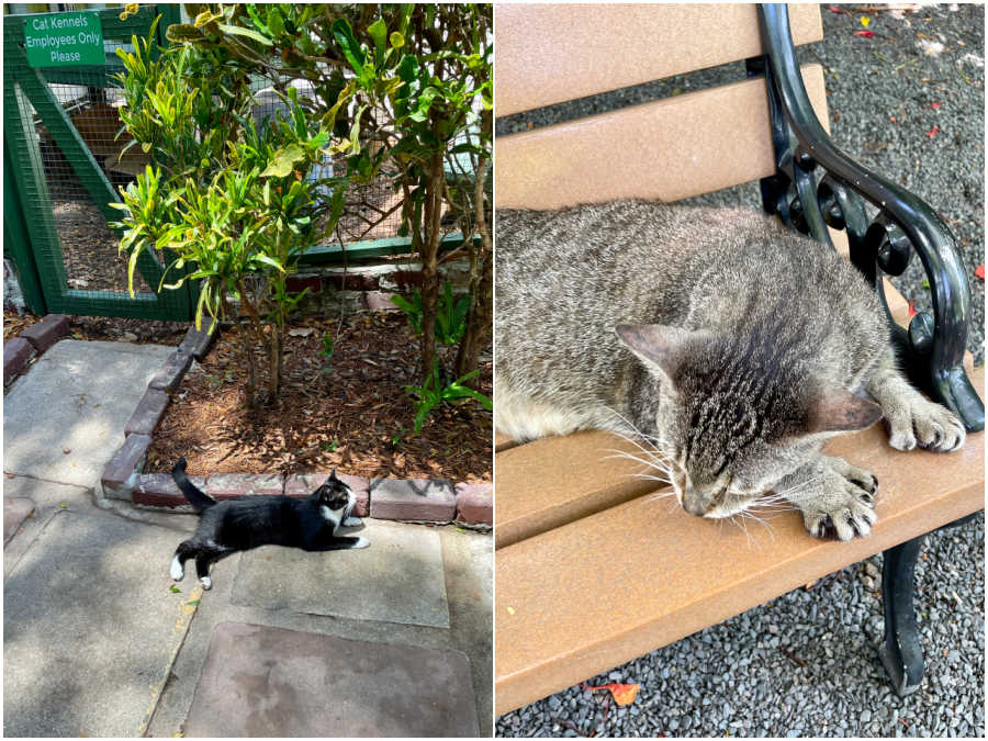 cats at the hemingway home in key west